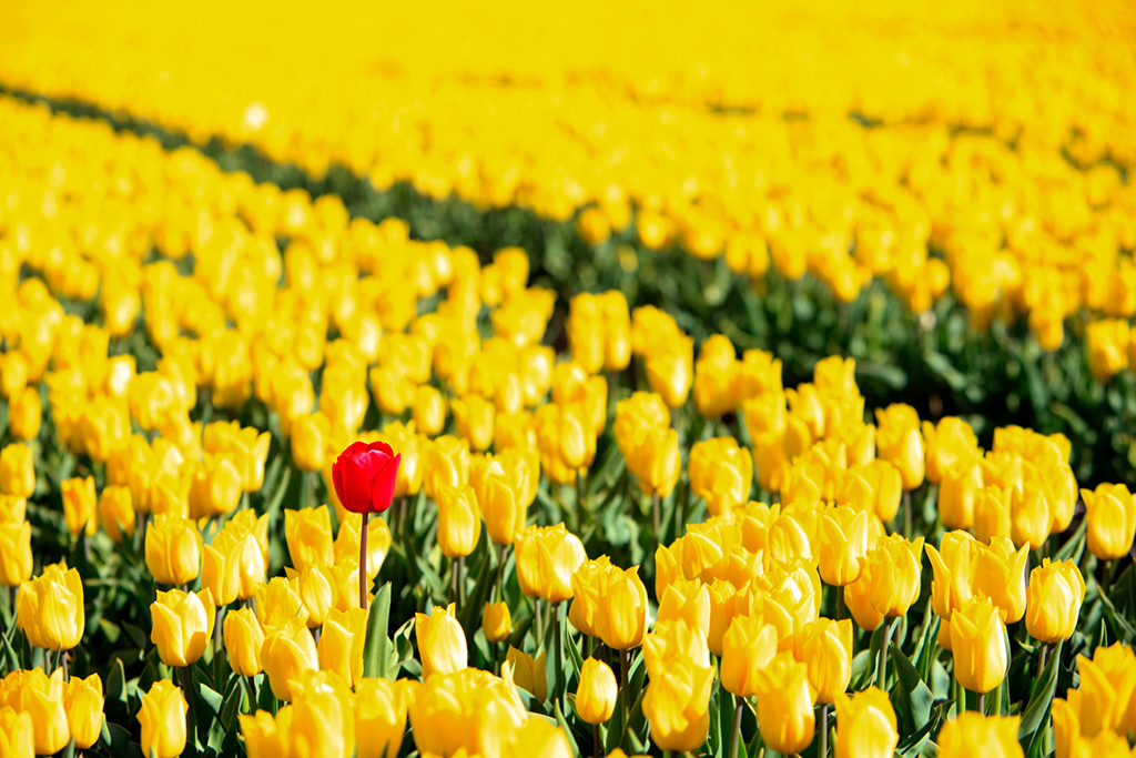 Yellow tulips and one red standing out